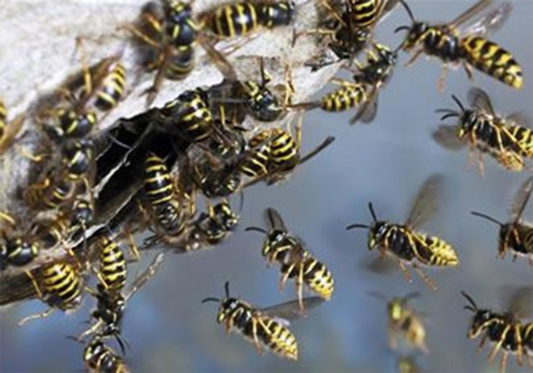 Wasp Control Handforth 24/7, same day service, fixed price no extra!