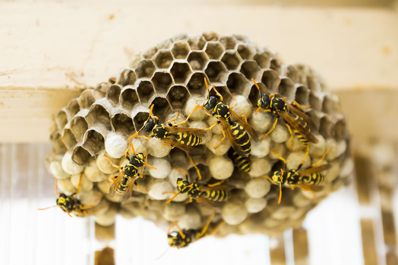 Wasp Control Handforth - Wasp nest treatment 24/7, same day service, covering Handforth, Stockport and cheshire, fixed price no hidden extras!